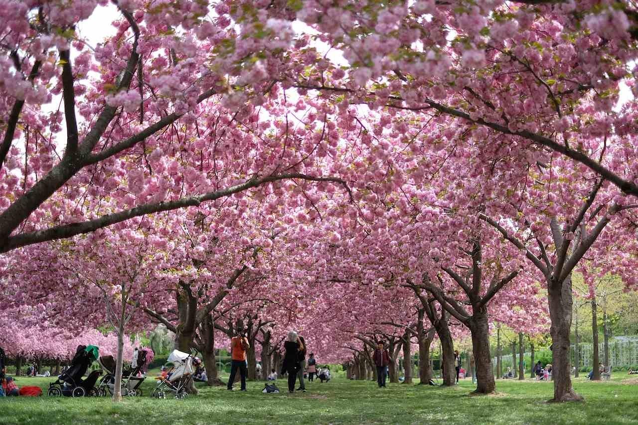 Hanami At The Brooklyn Botanical Garden What I Do